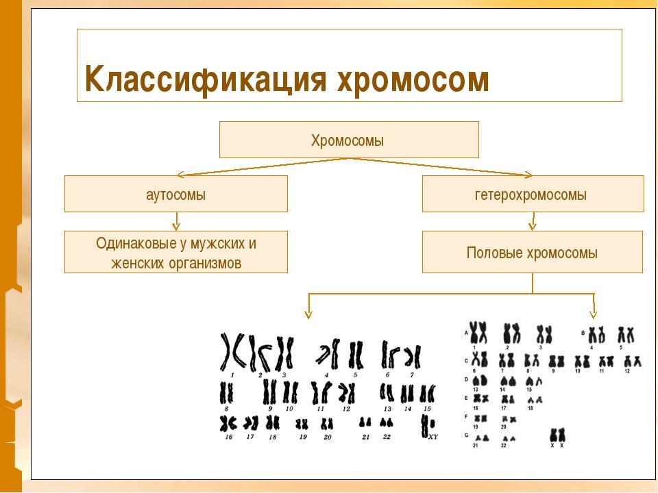 Классификация хромосом Хромосомы гетерохромосомы аутосомы Одинаковые у мужски...