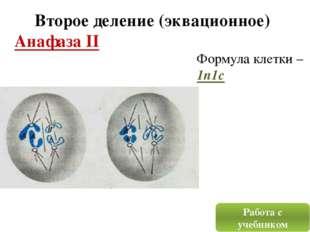 Второе деление (эквационное) Анафаза II Работа с учебником Формула клетки – 1