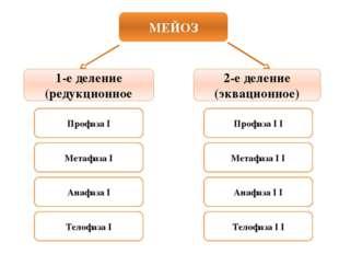 МЕЙОЗ 1-е деление (редукционное 2-е деление (эквационное) Профаза I Метафаза