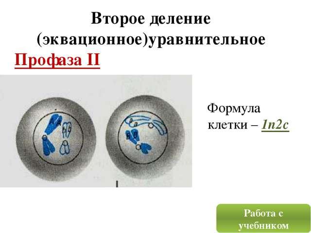 Второе деление (эквационное)уравнительное Профаза II Работа с учебником Форму...