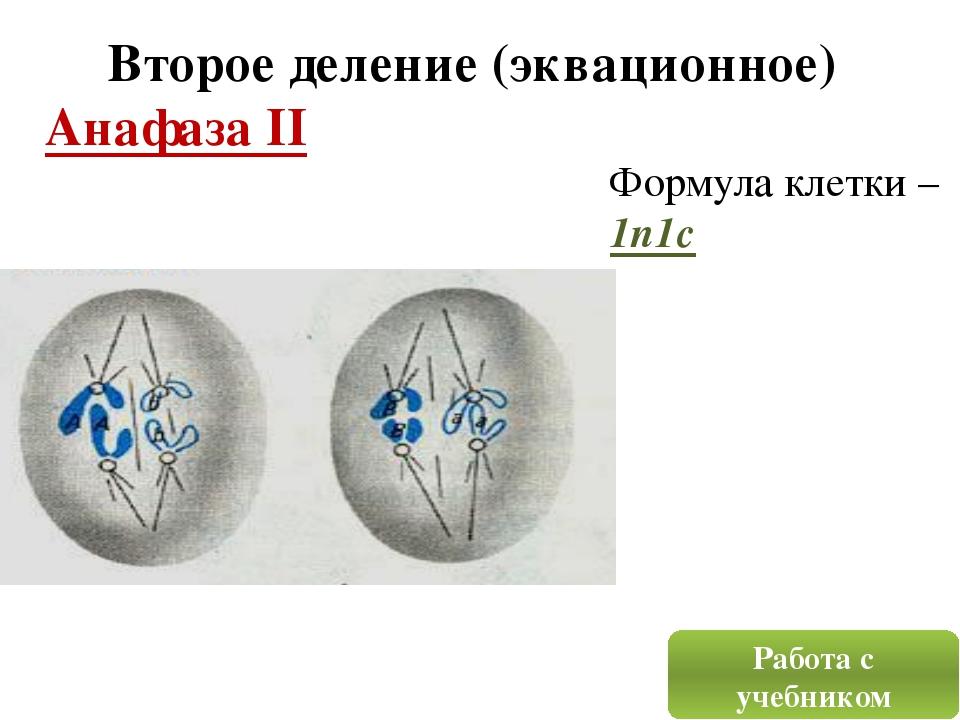 Второе деление (эквационное) Анафаза II Работа с учебником Формула клетки – 1...