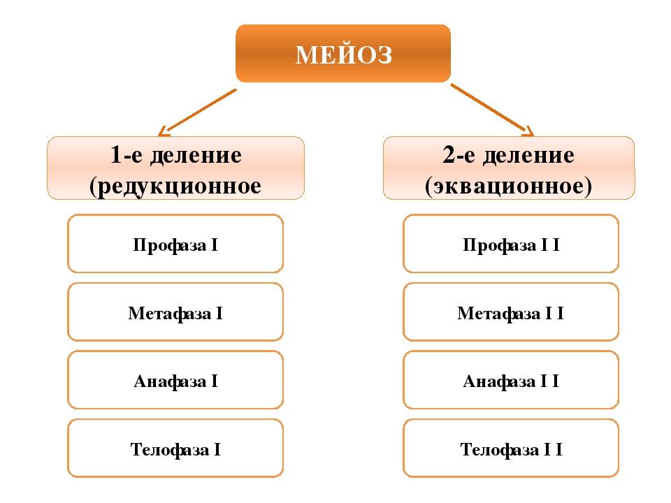 МЕЙОЗ 1-е деление (редукционное 2-е деление (эквационное) Профаза I Метафаза...