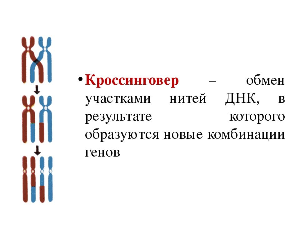 Кроссинговер – обмен участками нитей ДНК, в результате которого образуются но...