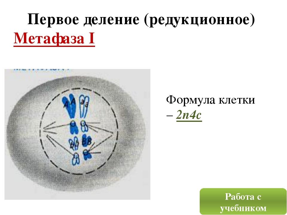 Первое деление (редукционное) Метафаза I Формула клетки – 2n4c Работа с учебн...