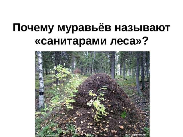 Почему муравьёв называют «санитарами леса»?