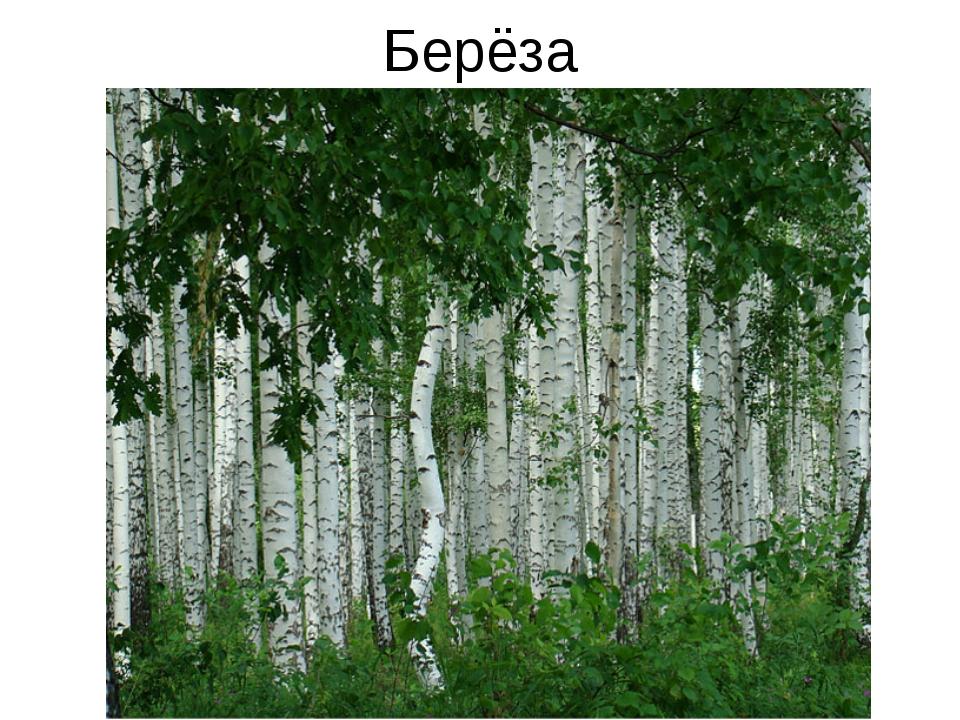 Берёза