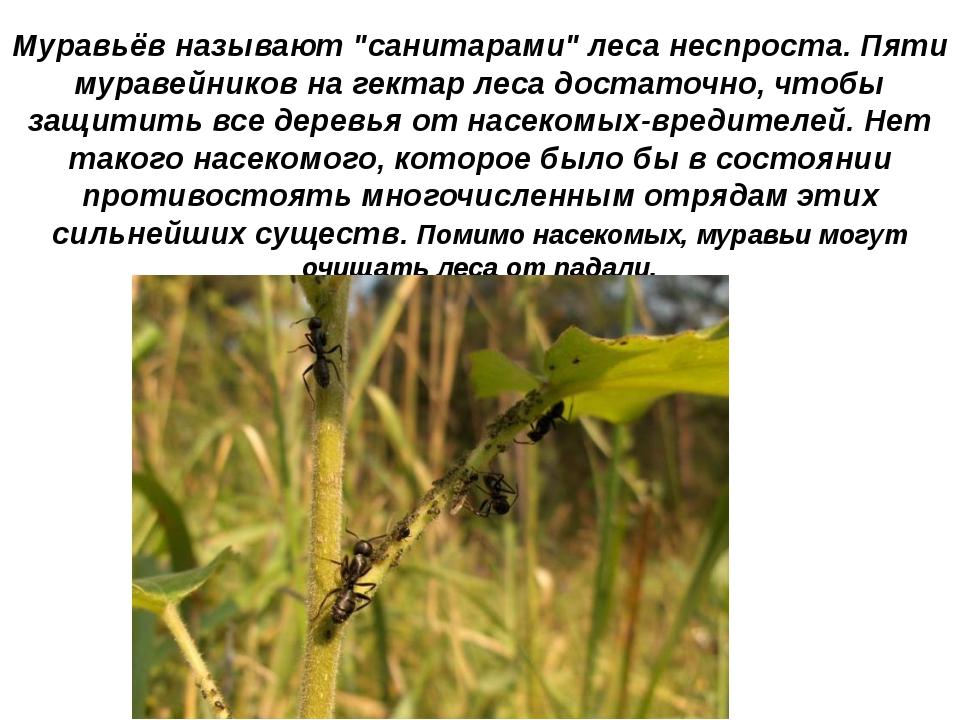 """Муравьёв называют """"санитарами"""" леса неспроста. Пяти муравейников на гектар ле..."""