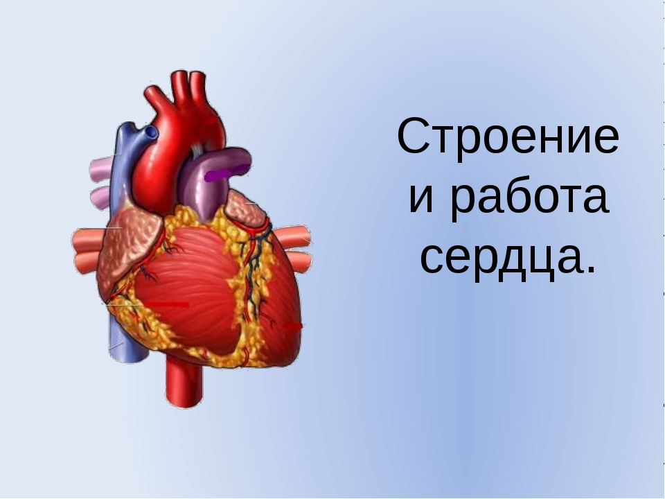 Строение и работа сердца.