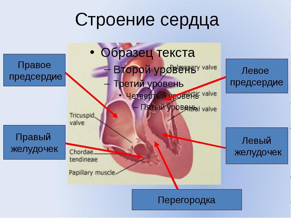 Строение сердца Правое предсердие Правый желудочек Левое предсердие Левый жел...