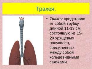 Трахея. Трахеяпредставляет собой трубку длиной 11-13 см, состоящую из 15-20