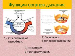 Функции органов дыхания: 2) Участвуют в голосообразовании. Обеспечивают газоо