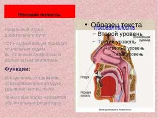 Носовая полость. Начальный отдел дыхательного пути. От ноздрей воздух проходи