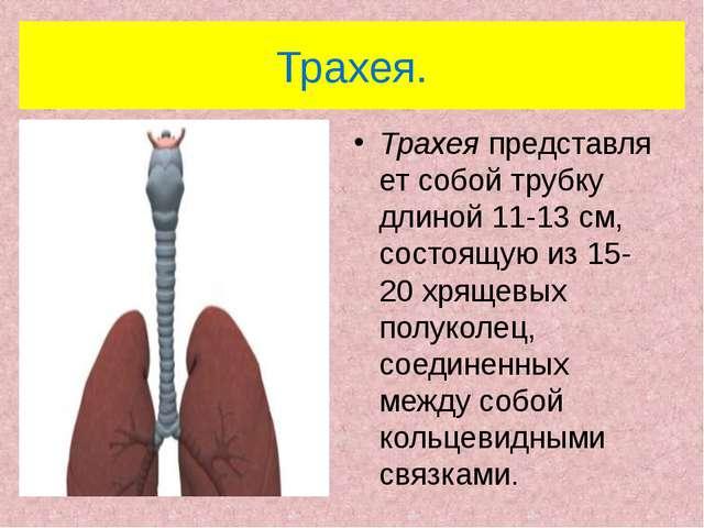 Трахея. Трахеяпредставляет собой трубку длиной 11-13 см, состоящую из 15-20...