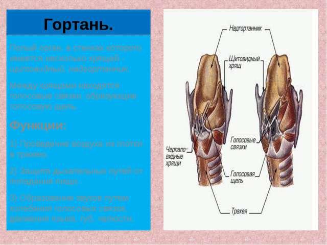 Гортань. Полый орган, в стенках которого имеется несколько хрящей - щитовидны...
