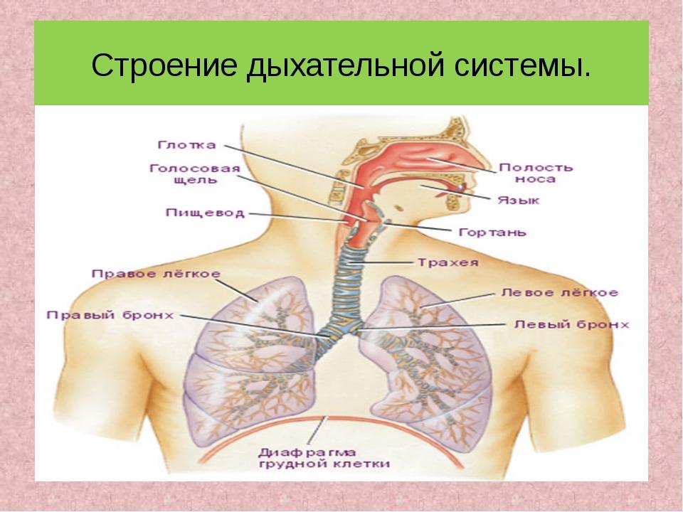 Строение дыхательной системы.
