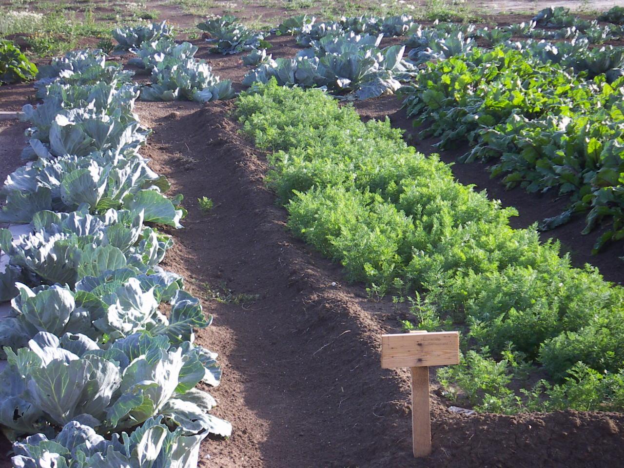 Какие овощи сажать в огороде 956