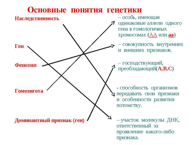 Основные понятия генетики Наследственность Ген Фенотип Гомозигота Доминантный...
