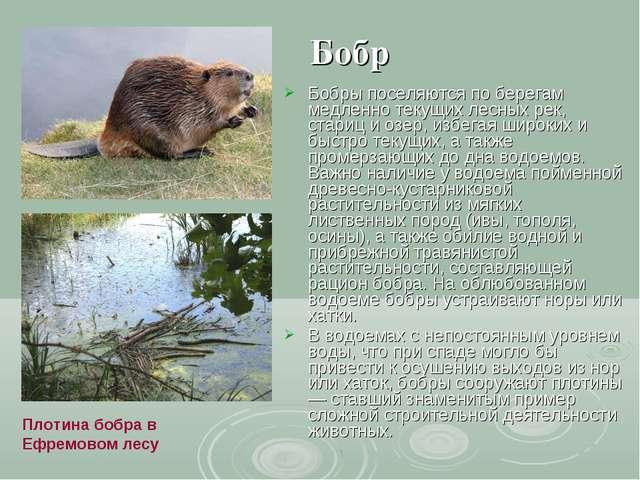 Бобр Бобры поселяются по берегам медленно текущих лесных рек, стариц и озер,...