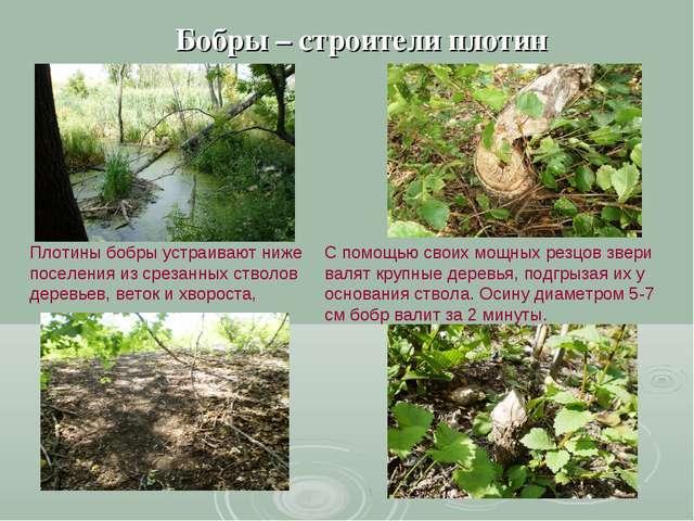 Бобры – строители плотин Плотины бобры устраивают ниже поселения из срезанных...
