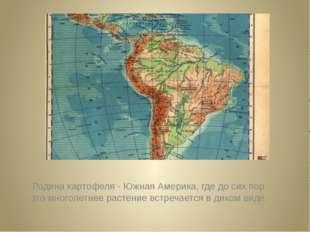 Родина картофеля - Южная Америка, где до сих пор это многолетнее растение в