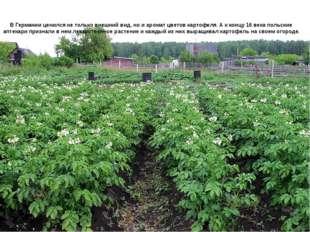 В Германии ценился не только внешний вид, но и аромат цветов картофеля. А к