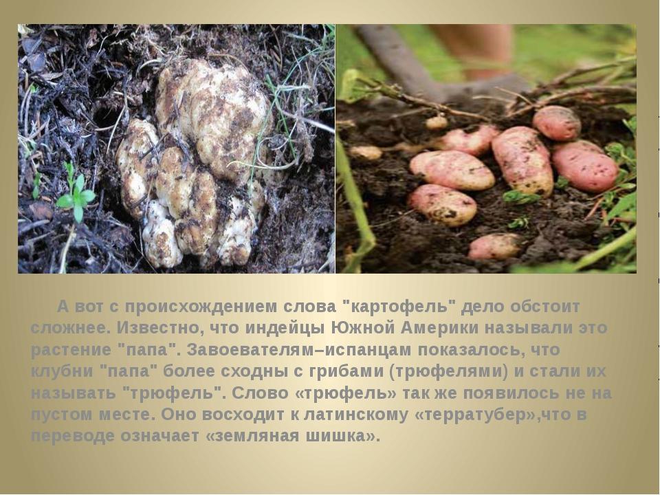 """А вот с происхождением слова """"картофель"""" дело обстоит сложнее. Известно, чт..."""