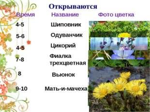 Открываются 4-5 Шиповник 5-6 Одуванчик Цикорий 4-5 Фиалка трехцветная 7-8 Вь