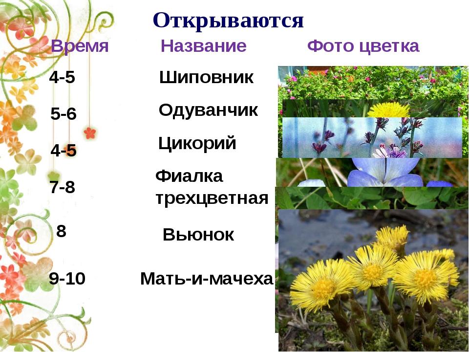 Открываются 4-5 Шиповник 5-6 Одуванчик Цикорий 4-5 Фиалка трехцветная 7-8 Вь...