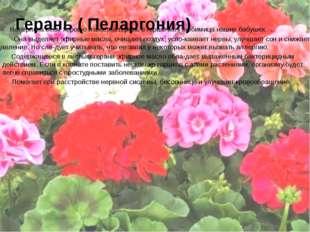 Герань ( Пеларгония) Наверняка всем хорошо известна герань в горшочке - любим