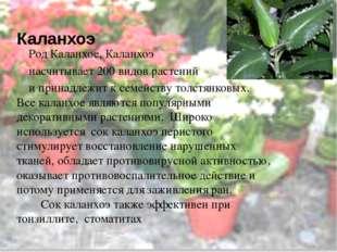 Каланхоэ Род Каланхое, Каланхоэ насчитывает 200 видов растений и принадлежит
