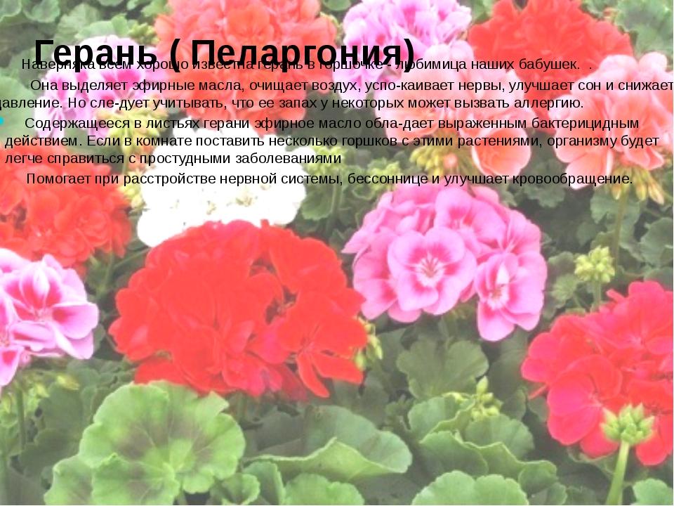 Герань ( Пеларгония) Наверняка всем хорошо известна герань в горшочке - любим...