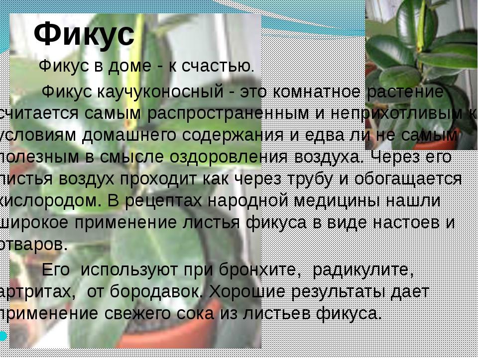 Фикус Фикус в доме - к счастью. Фикус каучуконосный - это комнатное растение...