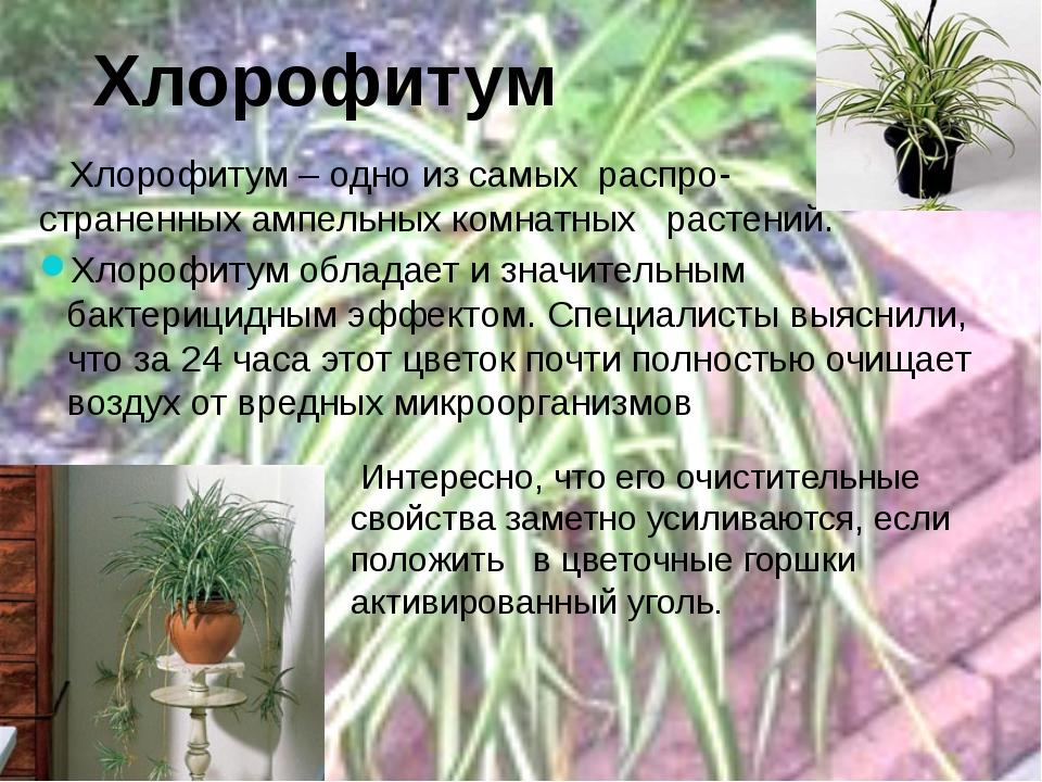 : Хлорофитум Хлорофитум – одно из самых распро- страненных ампельных комнатны...