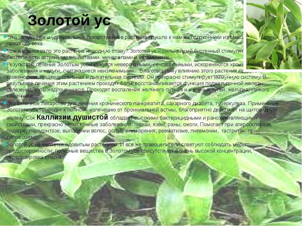 Золотой ус Это загадочное и удивительное лекарственное растение пришло к нам...