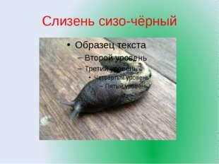 Слизень сизо-чёрный