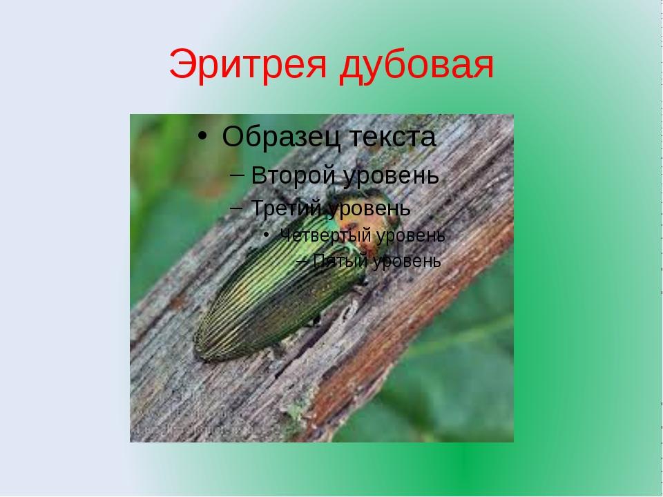 Эритрея дубовая