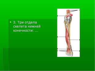 3. Три отдела скелета нижней конечности: …
