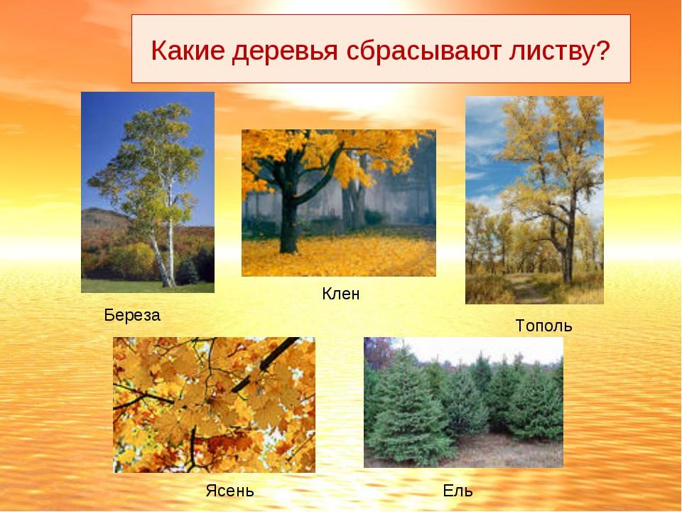 Береза Клен Тополь Ясень Ель Какие деревья сбрасывают листву?