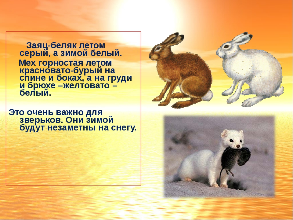Заяц-беляк летом серый, а зимой белый. Мех горностая летом красновато-бурый...