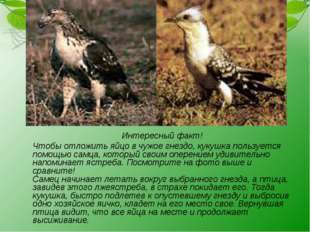 Интересный факт! Чтобы отложить яйцо в чужое гнездо, кукушка пользуется пом