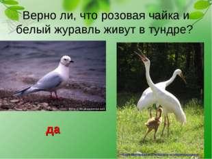 Верно ли, что розовая чайка и белый журавль живут в тундре? да