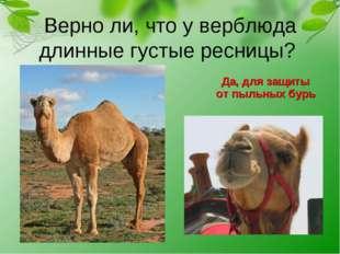 Верно ли, что у верблюда длинные густые ресницы? Да, для защиты от пыльных б