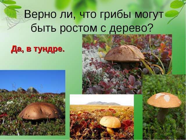 Верно ли, что грибы могут быть ростом с дерево? Да, в тундре.