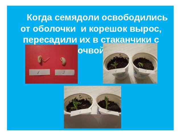 Когда семядоли освободились от оболочки и корешок вырос, пересадили их в ста...