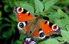 C:\Users\LeoMarD\Desktop\Животные\павл бабочка.jpeg