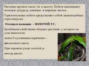 Растение крупное около 1м. в высоту. Побеги напоминают молодую кукурузу, длин
