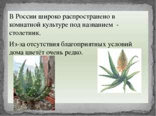 В России широко распространено в комнатной культуре под названием - столетник