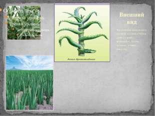 Многолетние вечнозеленое растение пустынь. Стебель прямостоячий, ветвящийся.