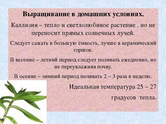 Выращивание в домашних условиях. Каллизия – тепло и светлолюбивое растение ,...