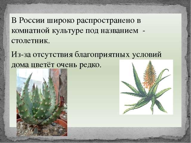 В России широко распространено в комнатной культуре под названием - столетник...